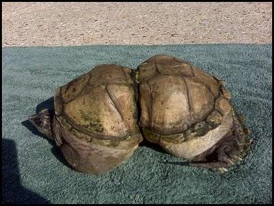 Вот что делает с черепахами мусор Большое тихоокеанское мусорное пятно