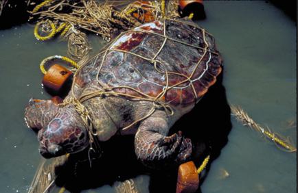 Черепаха в сети Большое тихоокеанское мусорное пятно